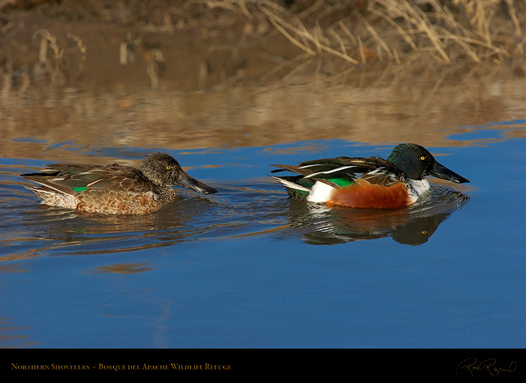 NorthernShovelers_1752