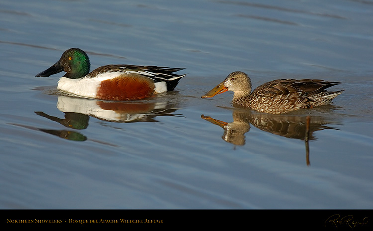 NorthernShovelers_6554