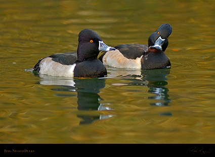 RingNecked_Ducks_X7960