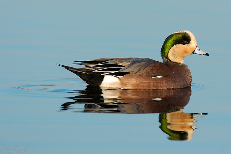 Widgeon_1046