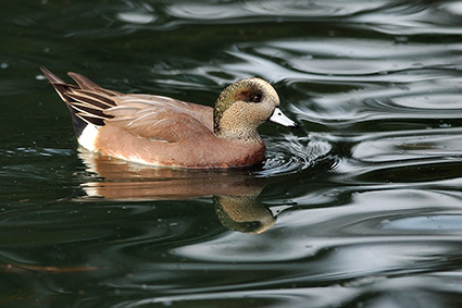 Widgeon_5687