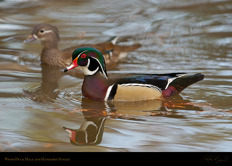 WoodDuckMale_MandarinFemale_4420