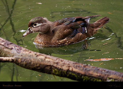 WoodDuck_Female_HS5826