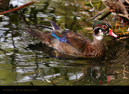 WoodDuck_Juvenile_BreedingMale_HS5873