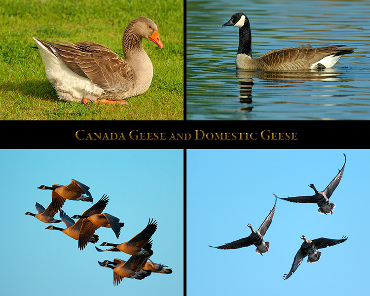 CanadaGeese_Domestics
