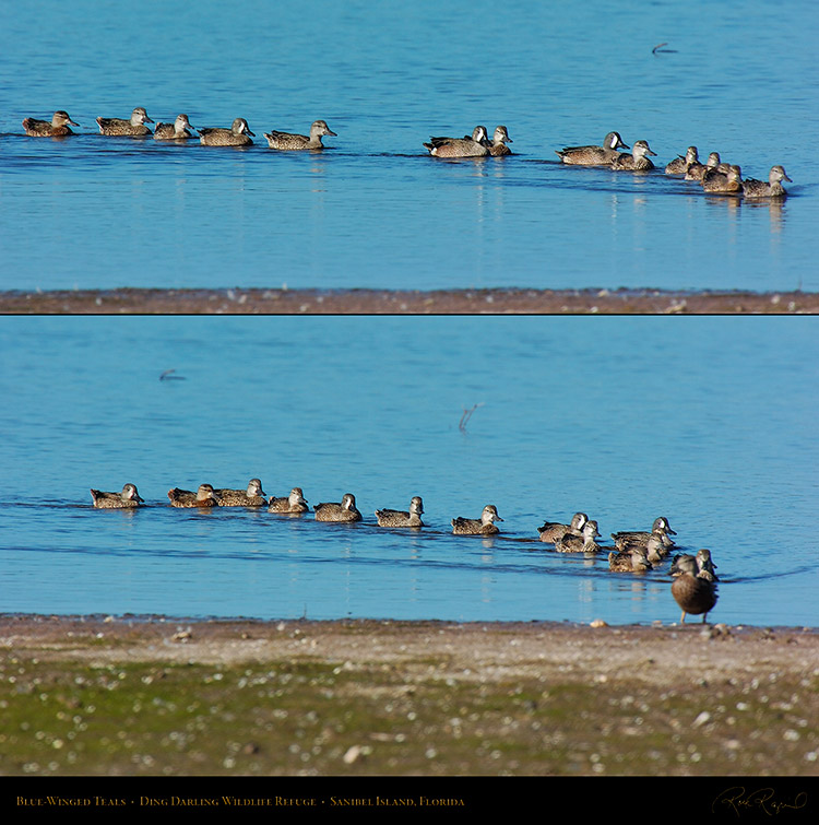 Blue-Winged_Teals_0410_0411_XL