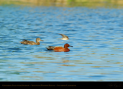 CinnamonTeals_Swallow_Fly-by_X1172