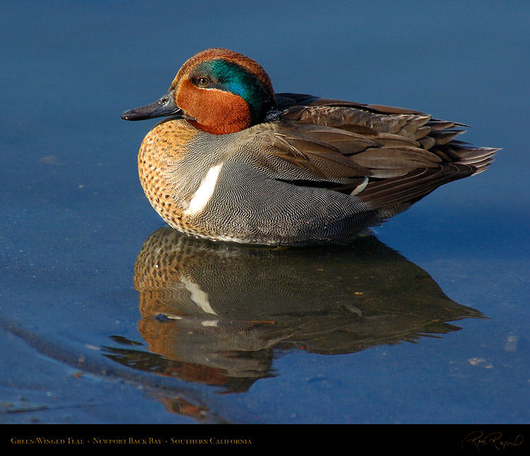 Green-WingedTeal_4146M