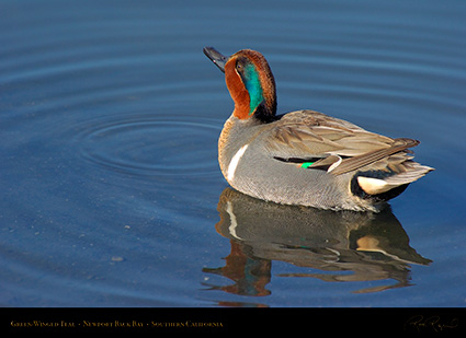Green-Winged_Teal_4129