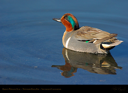 Green-Winged_Teal_4132