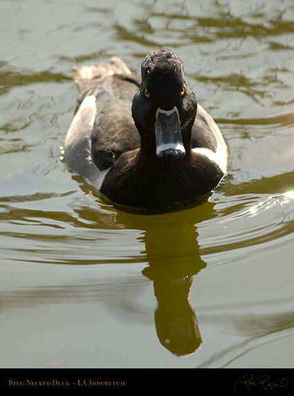 Ring-Necked_Duck_0106