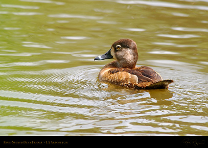 Ring-Necked_Duck_Female_1130