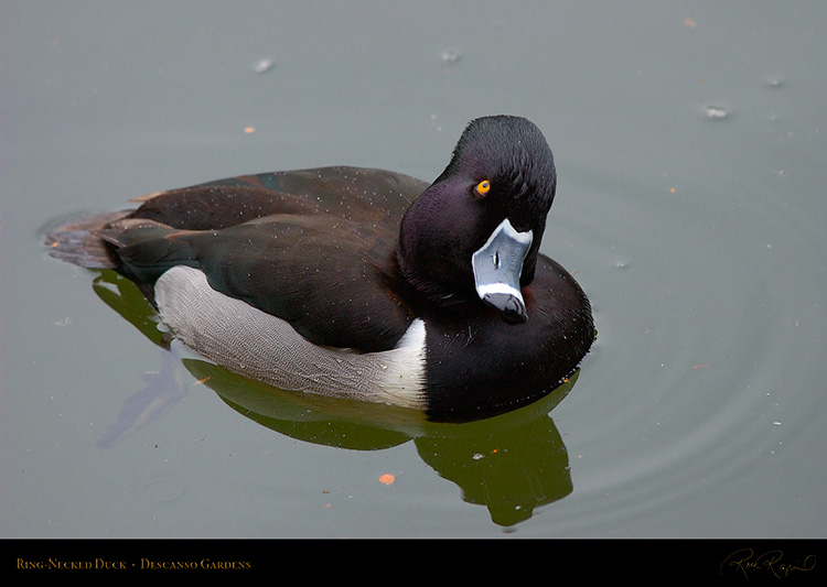 Ring-Necked_Duck_8925