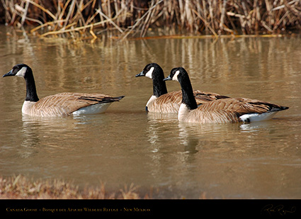 CanadaGeese_Bosque_1973