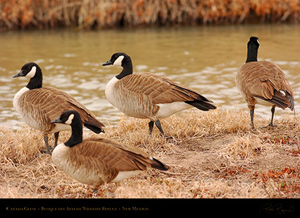 CanadaGeese_Bosque_5582