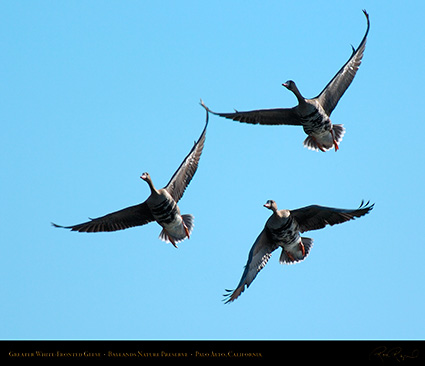 Greater_White-Fronted_Geese_3687M