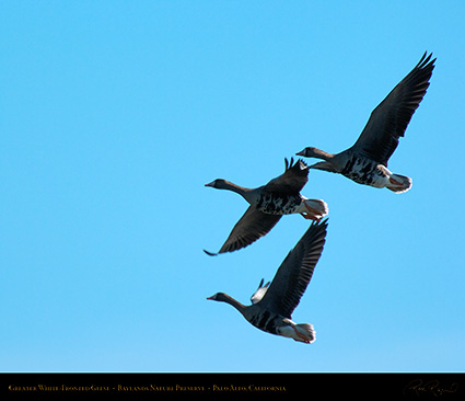 Greater_White-Fronted_Geese_3688M