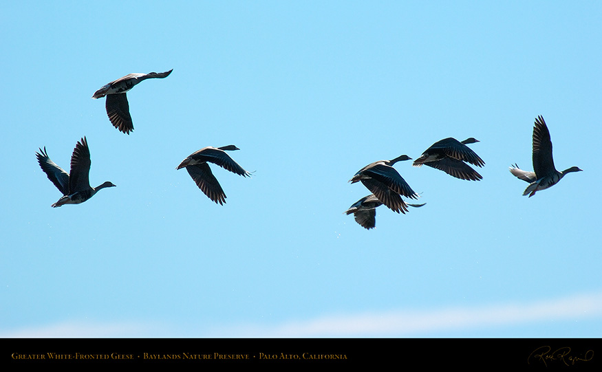 Greater_White-Fronted_Geese_3689_16x9