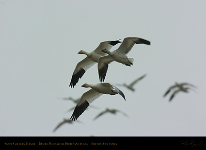 SnowGeese_9046