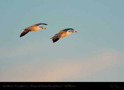 SnowGeese_SunsetFly-in_5910