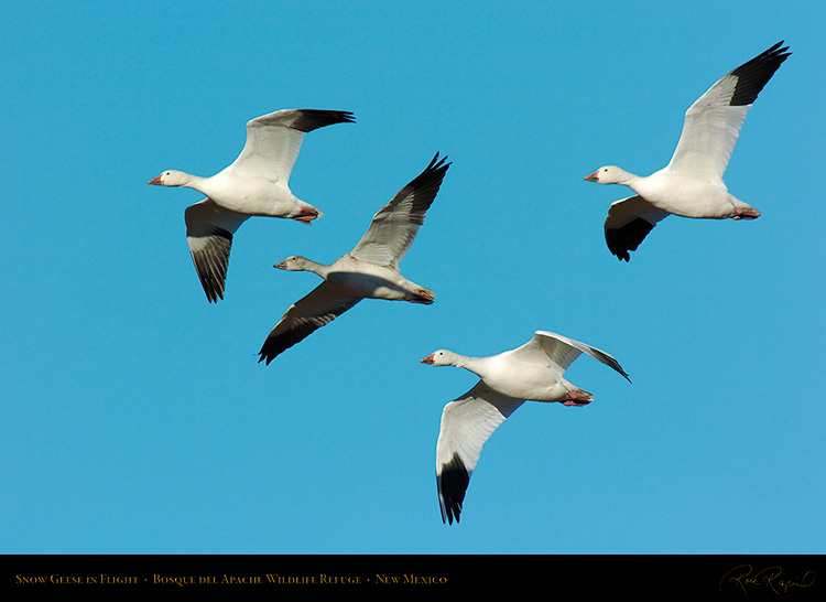 SnowGeese_inFlight_2059