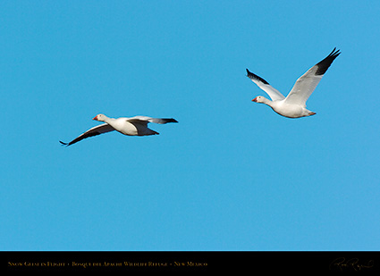 SnowGeese_inFlight_2143