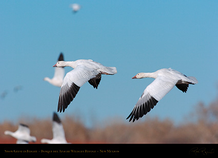 SnowGeese_inFlight_2244