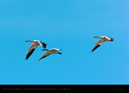 SnowGeese_inFlight_2965