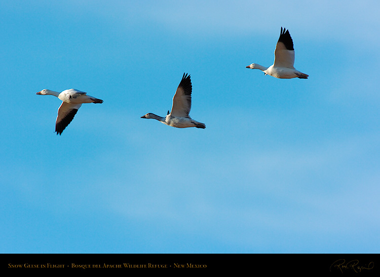 SnowGeese_inFlight_2968