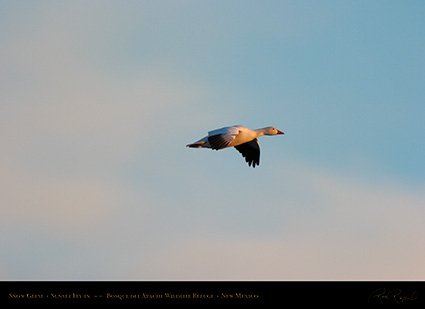 SnowGoose_SunsetFly-in_5906