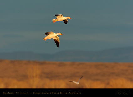 SnowGeese_SunsetFly-in_6907