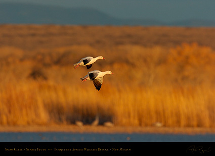 SnowGeese_SunsetFly-in_6908