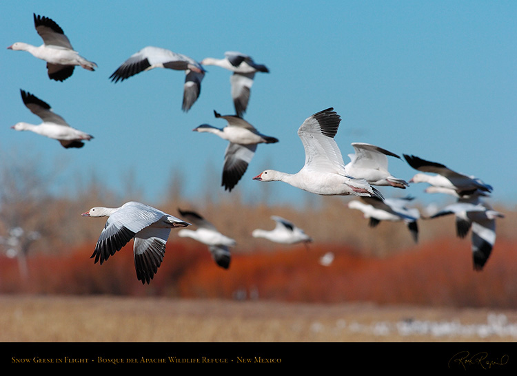 SnowGeese_inFlight_2252