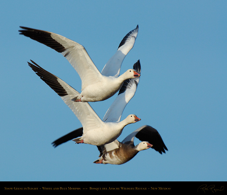 SnowGeese_White_andBlueMorphs_X0867M
