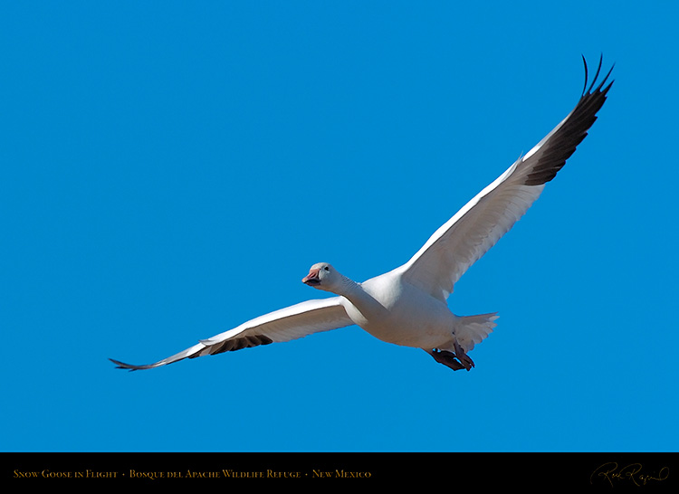 SnowGoose_inFlight_2218