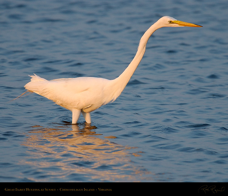 GreatEgret_Hunting_3767
