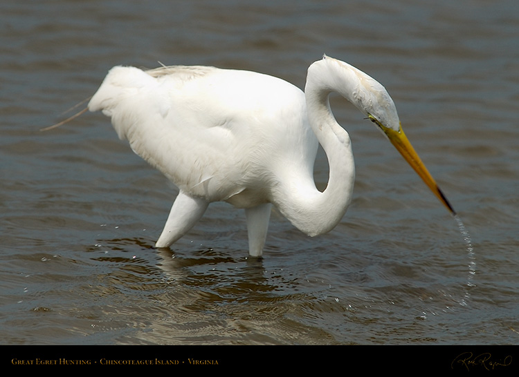 GreatEgret_Hunting_4125