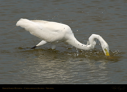 GreatEgret_Hunting_4138