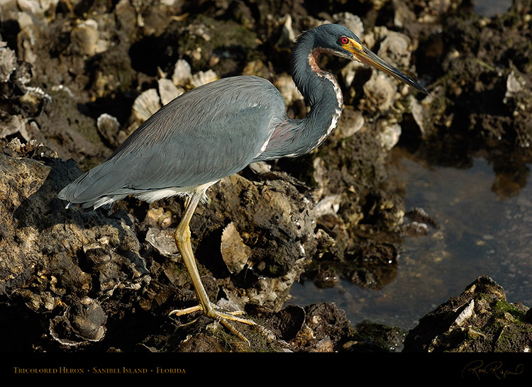 Tricolored_Heron_1643