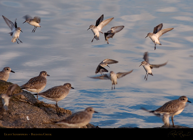 LeastSandpipers_HS6060