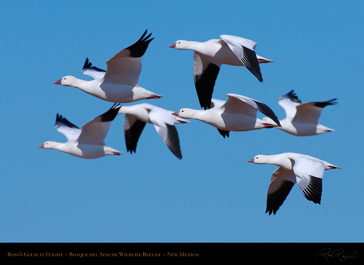 Ross'sGeese_inFlight_X3798