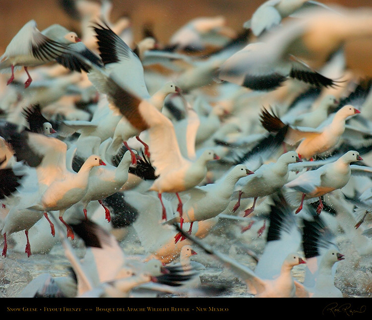 SnowGeese_Flyout_Frenzy_2316M