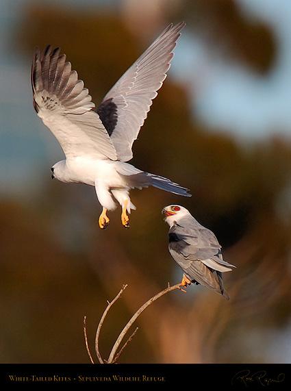 WhiteTailed_Kite_Fly-by_HS6888c