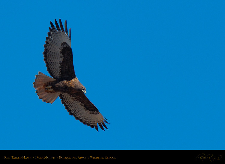 DarkMorph_Red-Tailed_Hawk_X6645