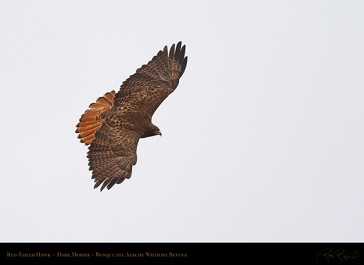 DarkMorph_Red-Tailed_Hawk_5561