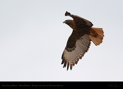 DarkMorph_Red-Tailed_Hawk_5568