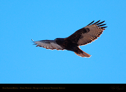 DarkMorph_Red-Tailed_Hawk_X3979