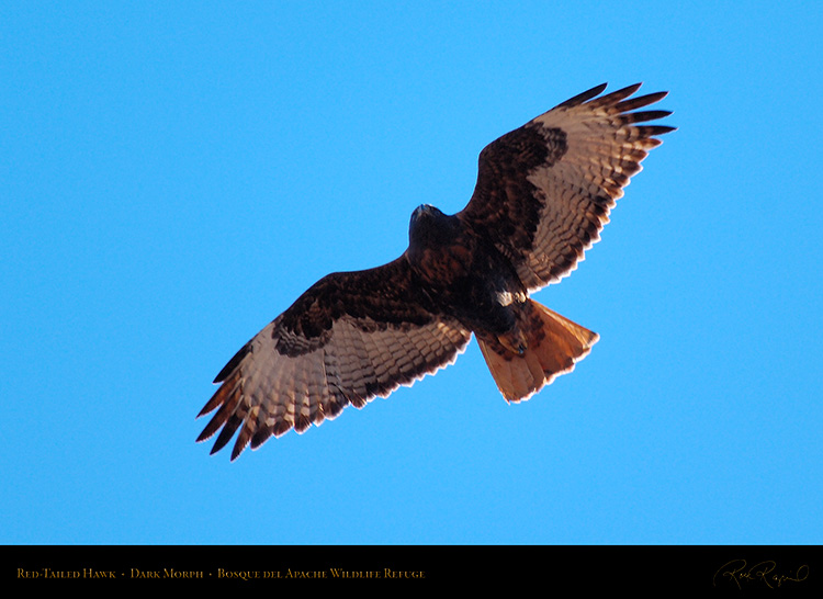 DarkMorph_Red-Tailed_Hawk_X3980