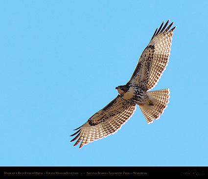 Harlans_Red-Tail_LightMorph_Juvenile_0708M