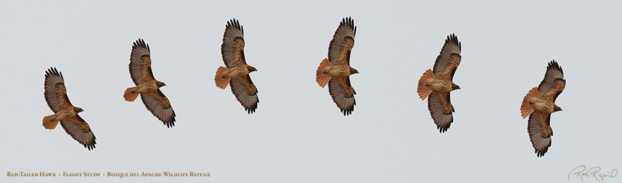 Red-Tailed_Hawk_FlightStudy_XL